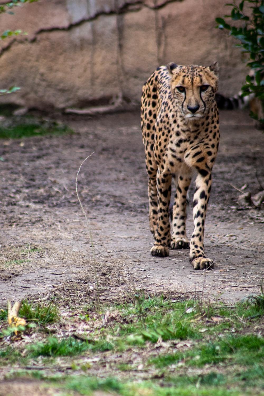 cheetah walking on brown field during daytime