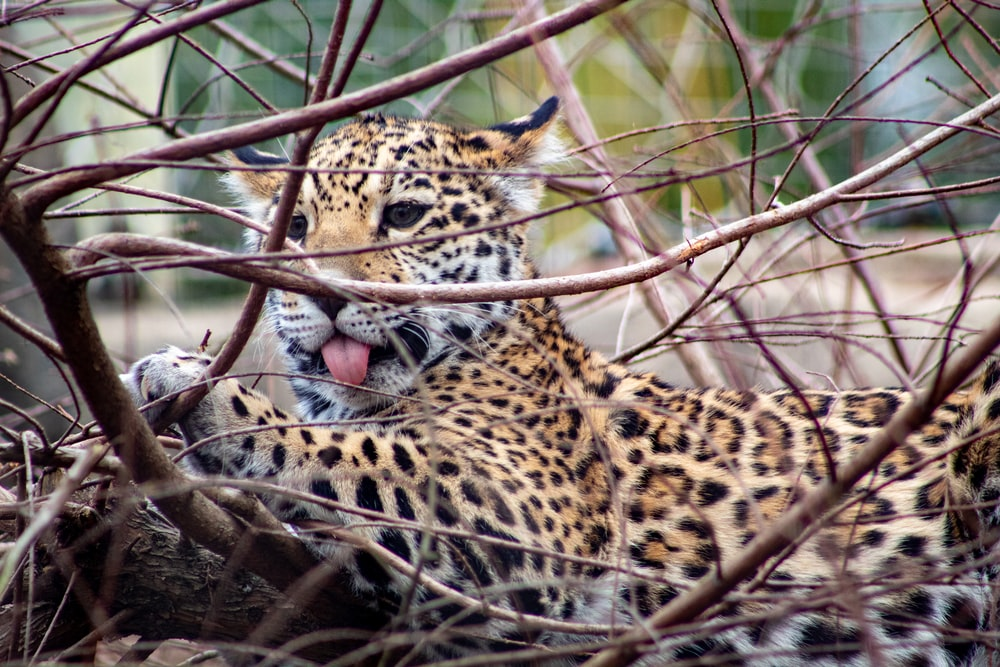 leopard on brown tree branch