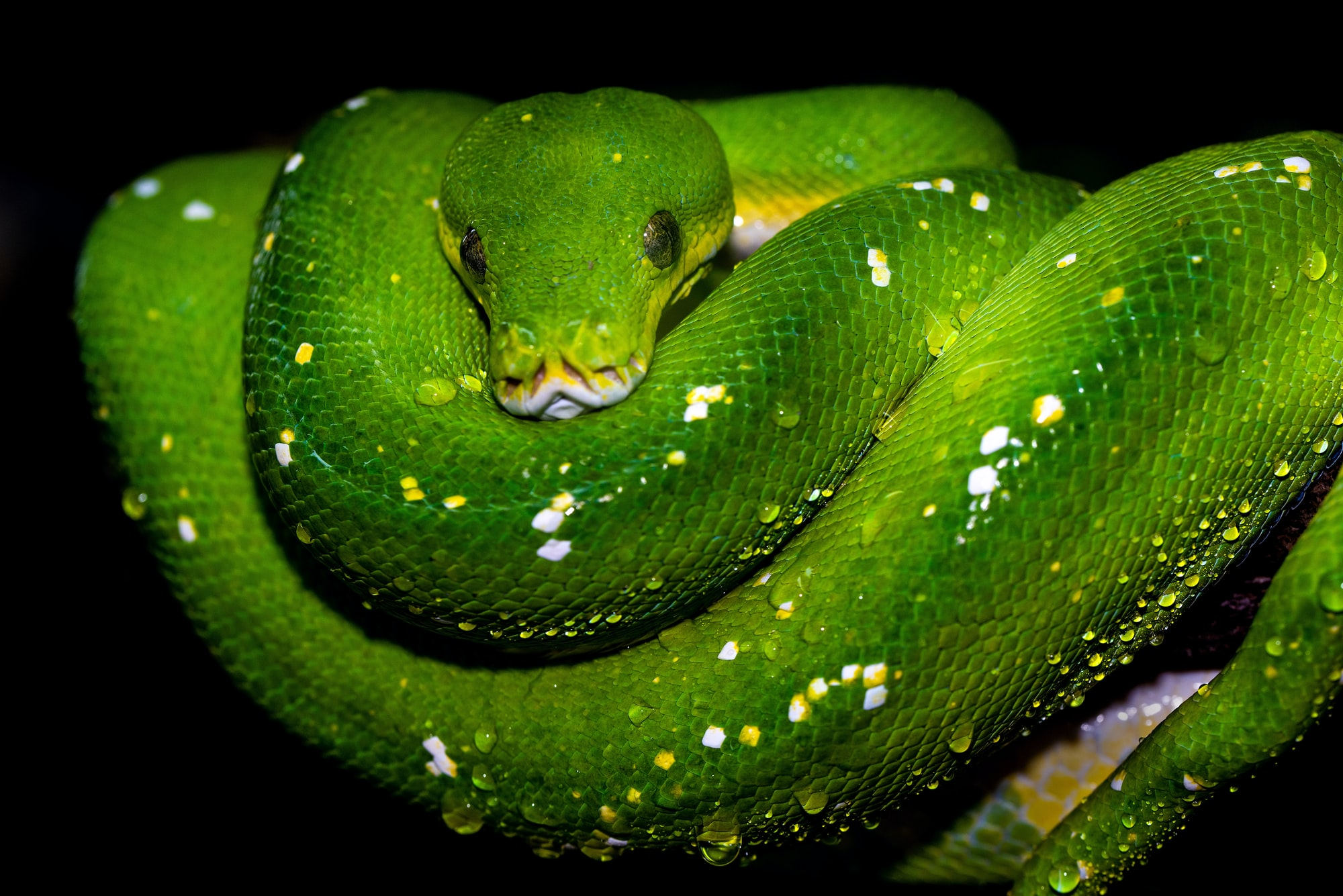 A Green Tree Python in a typical pose, coiled up over a branch.
