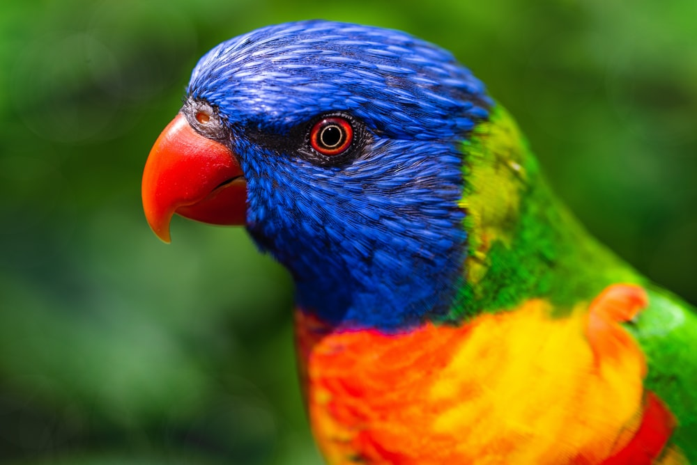 blue orange green and yellow bird