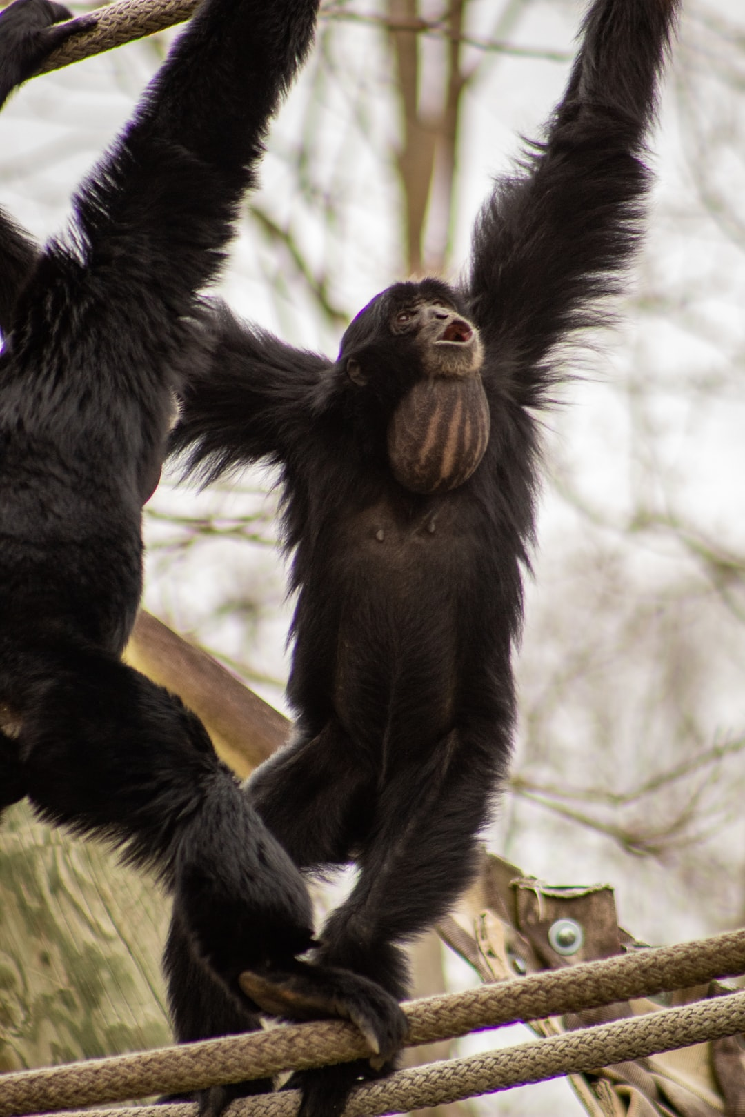 The siamang playing a mating game.