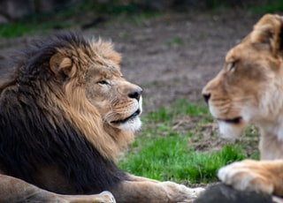 lion and lioness on green grass during daytime