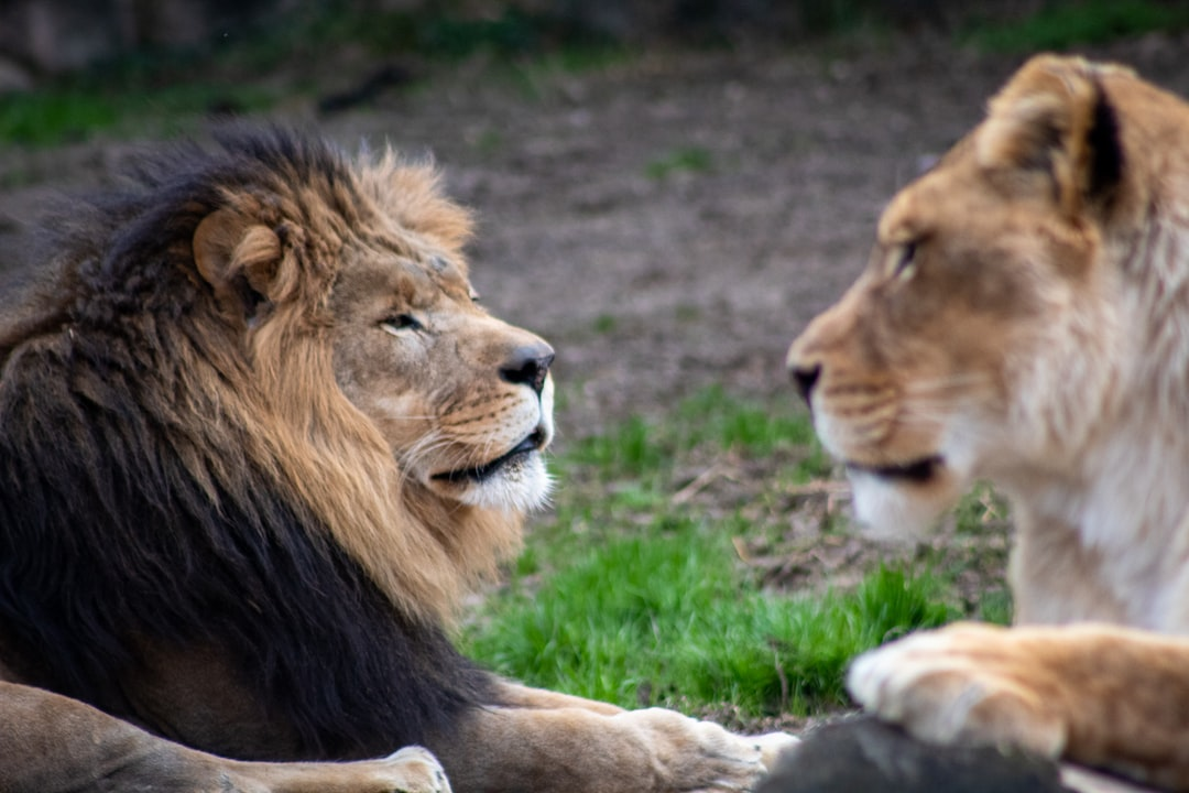Lion and lioness.
