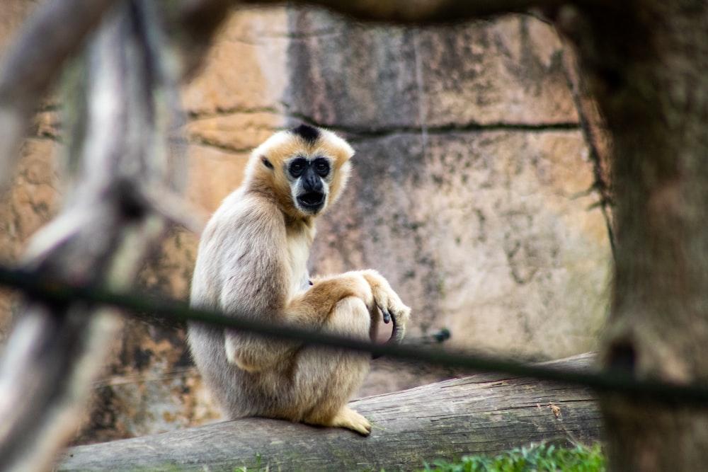 brown monkey sitting on brown wooden log during daytime