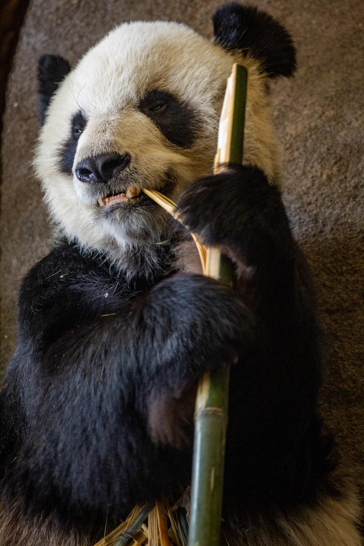 black and white panda bear