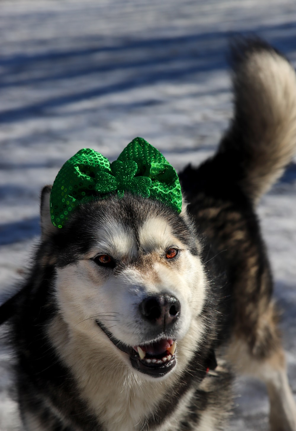 white and black siberian husky with green ribbon on head