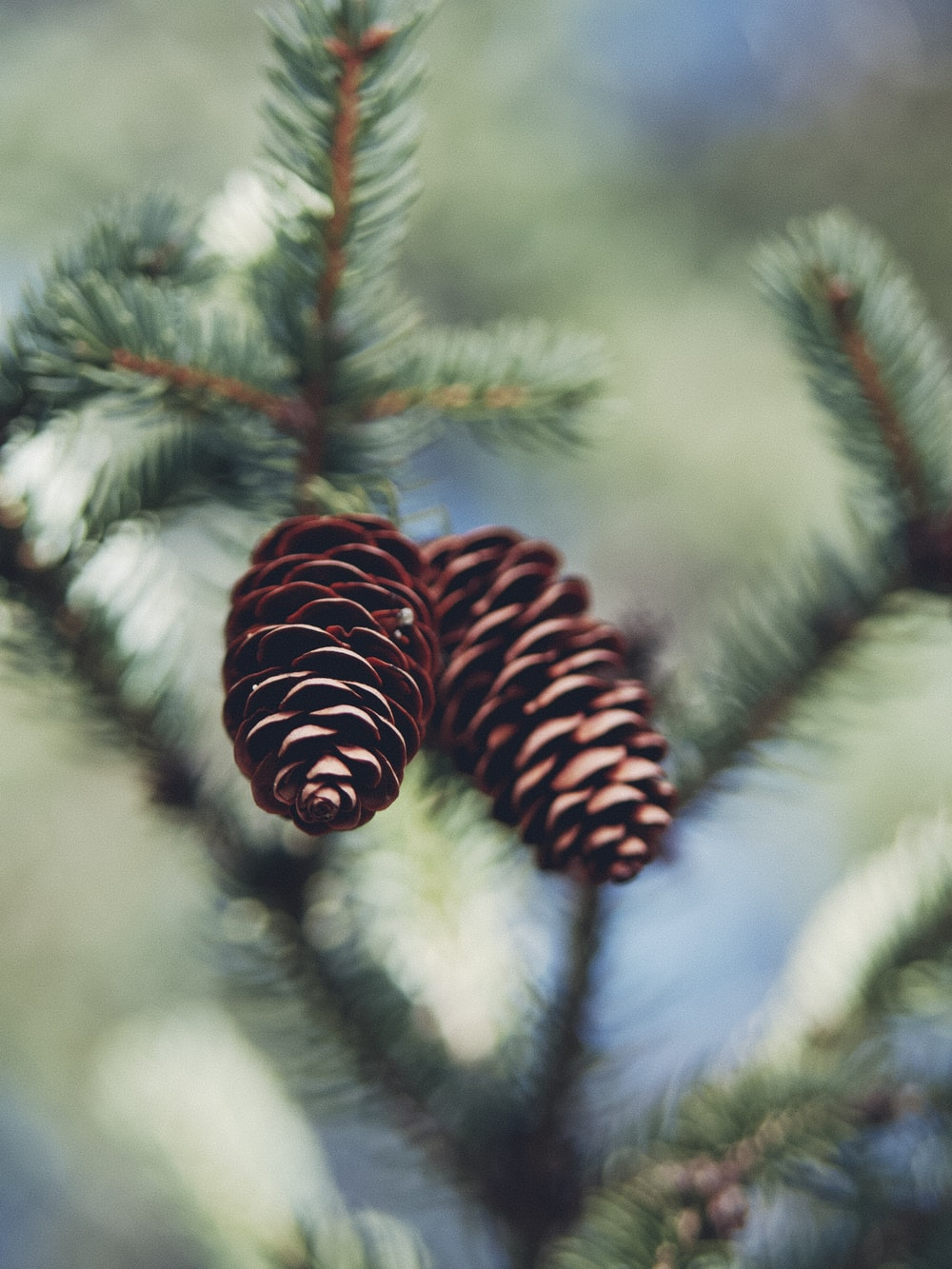 brown pine cones on snow covered tree