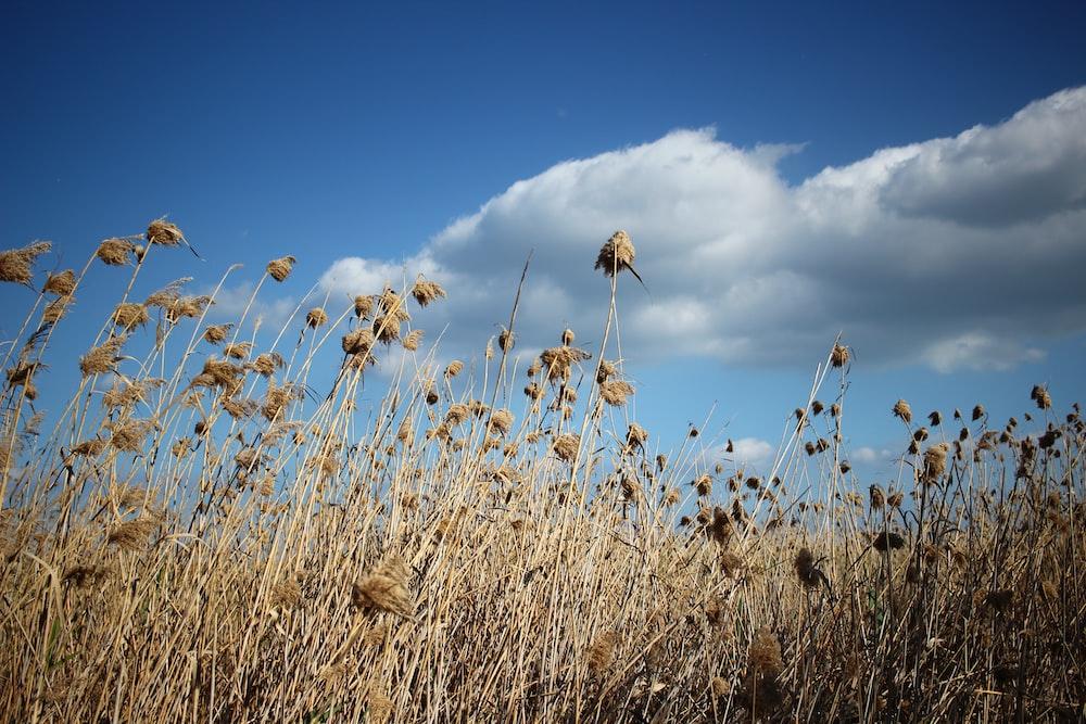 brown grass under blue sky during daytime