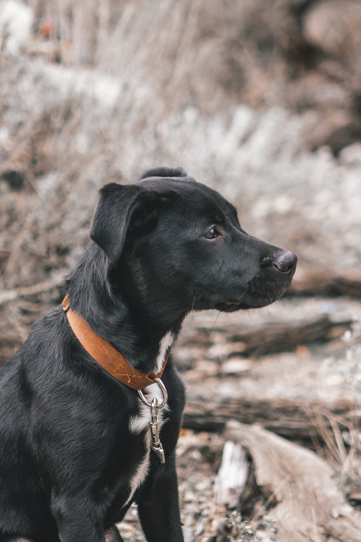 black short coat medium dog with brown leather collar