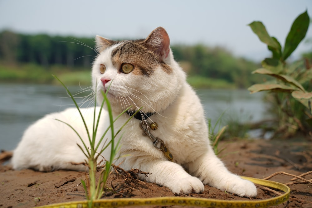 white and brown cat on brown dried leaves