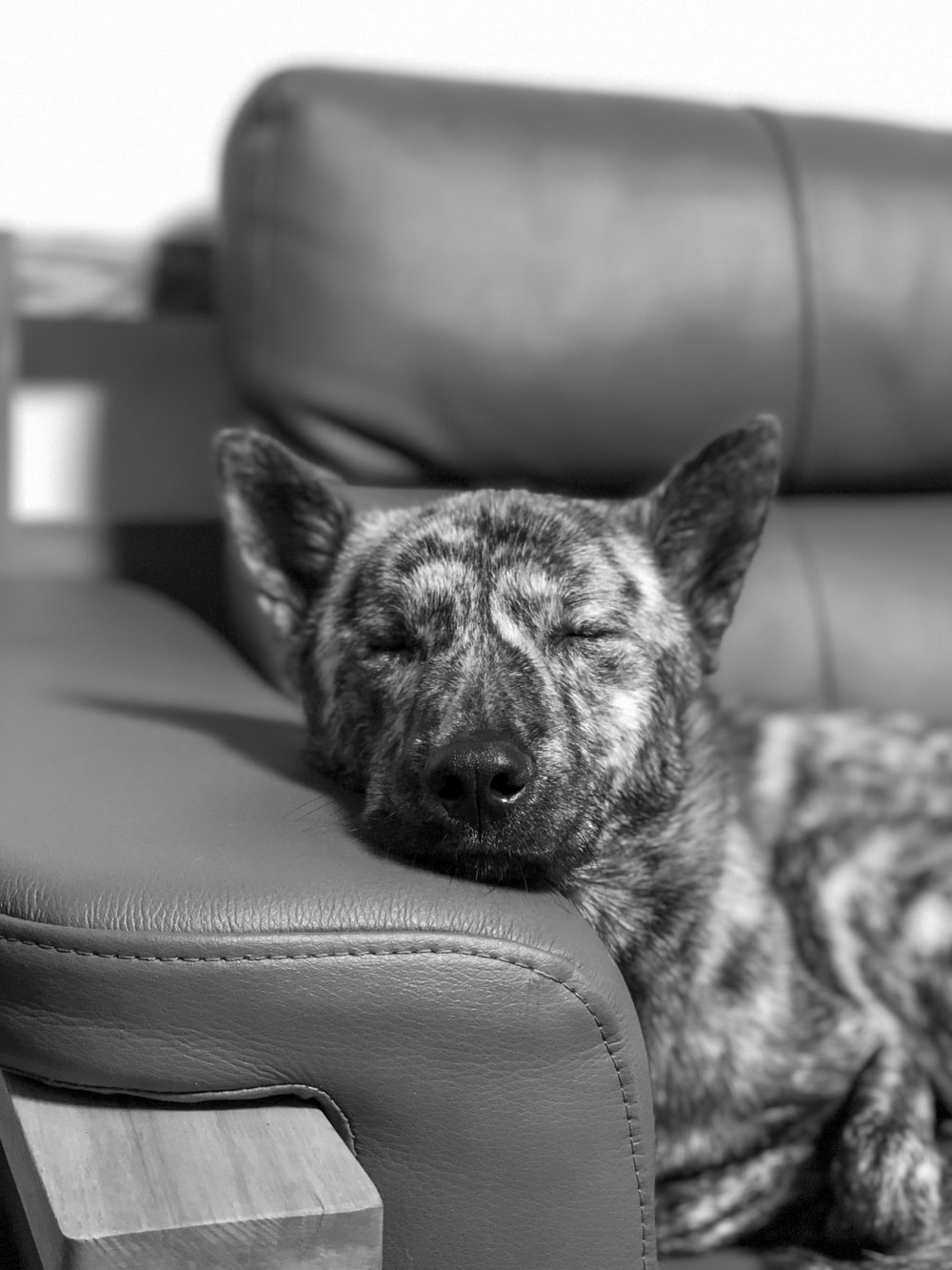 grayscale photo of short coated dog on couch