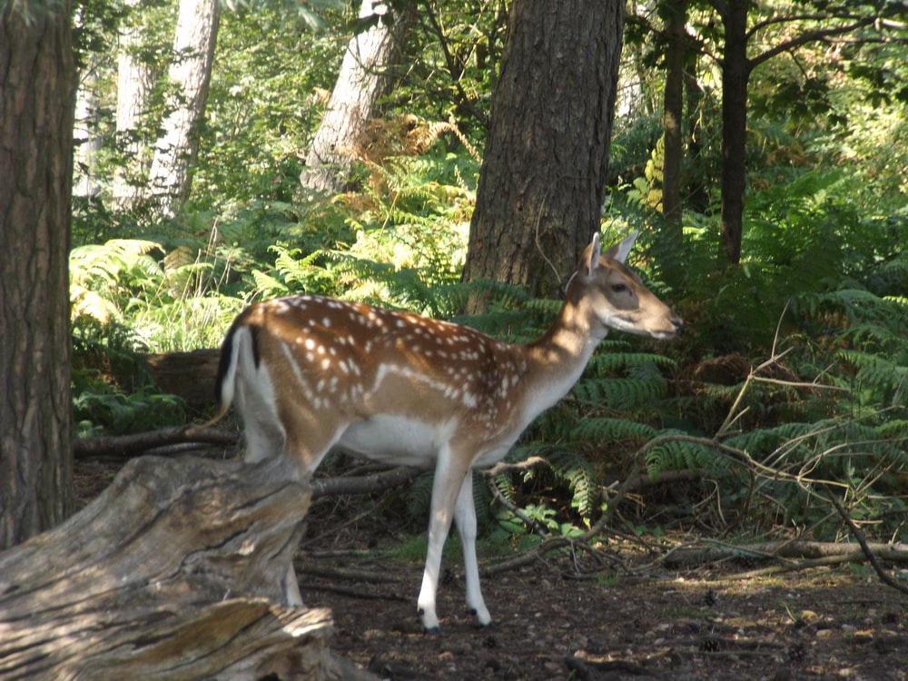 brown and white deer standing on brown tree log during daytime