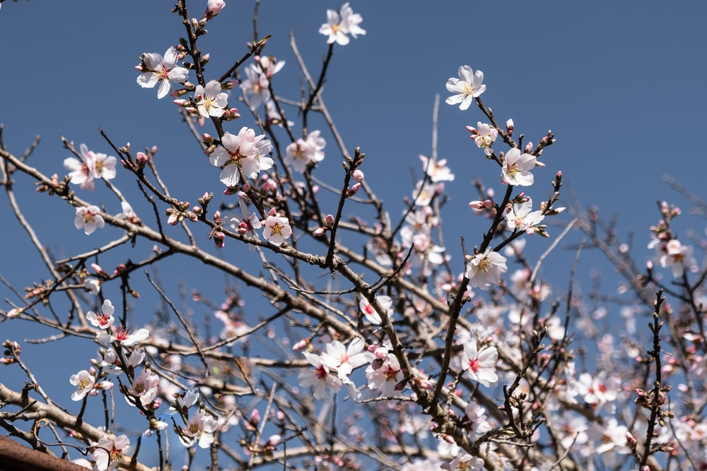 white cherry blossom flowers in bloom during daytime
