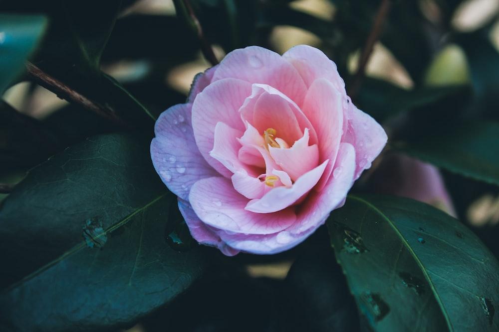 pink flower on green leaves
