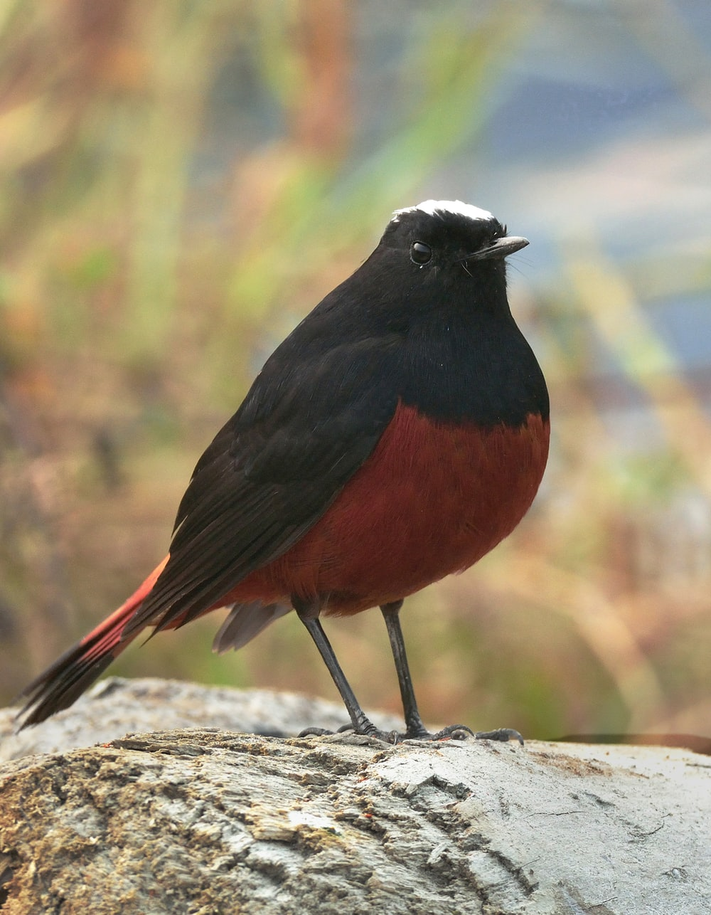 black and red bird on gray rock