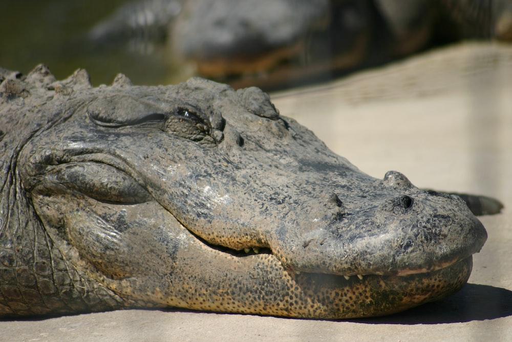 black crocodile on body of water