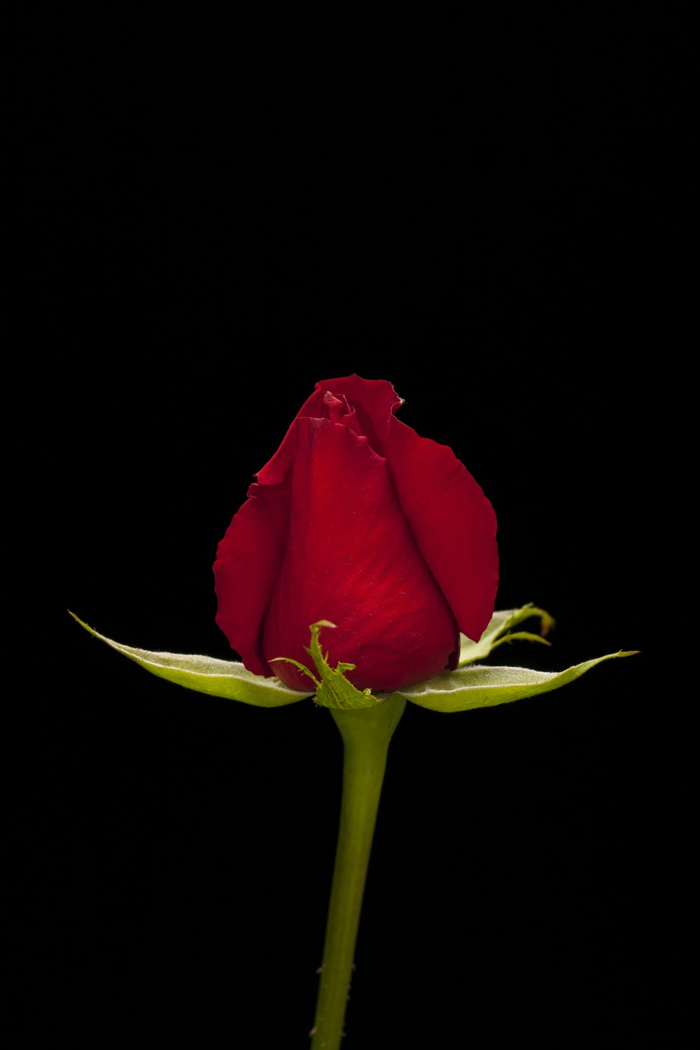 red rose in black background
