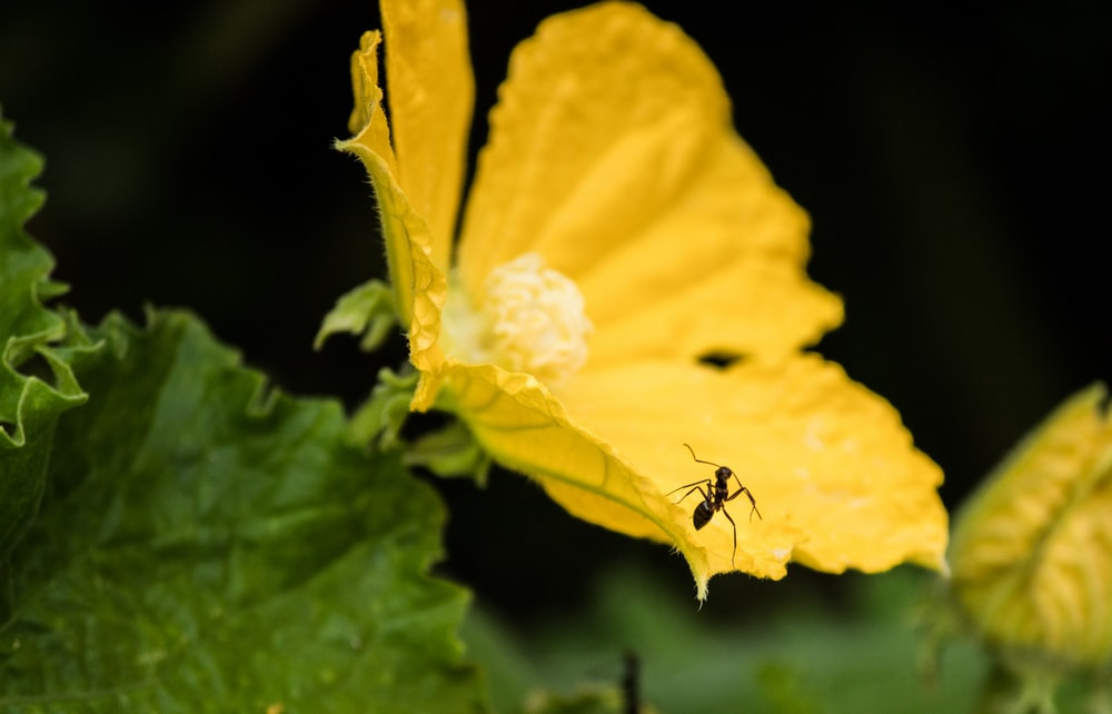 black ant on yellow flower