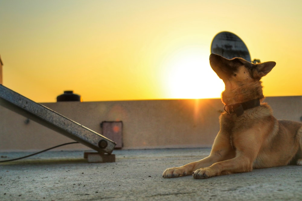 brown short coated dog lying on gray concrete floor during sunset