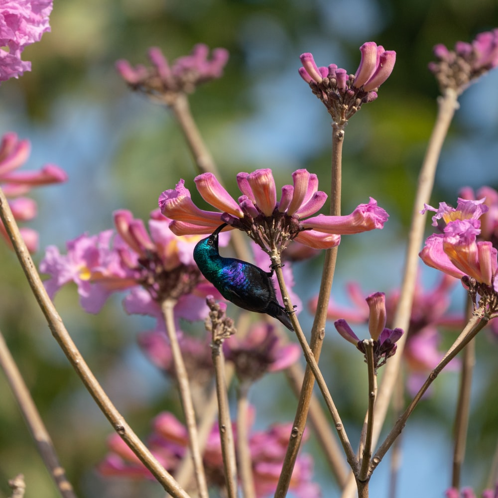 blue and black beetle perched on pink flower in close up photography during daytime