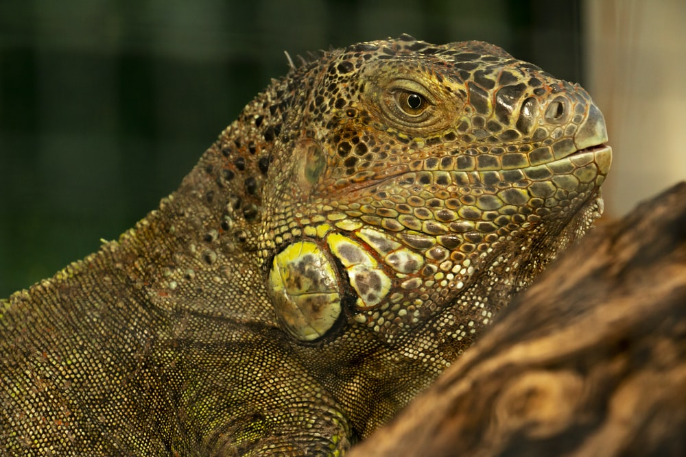 brown and green bearded dragon