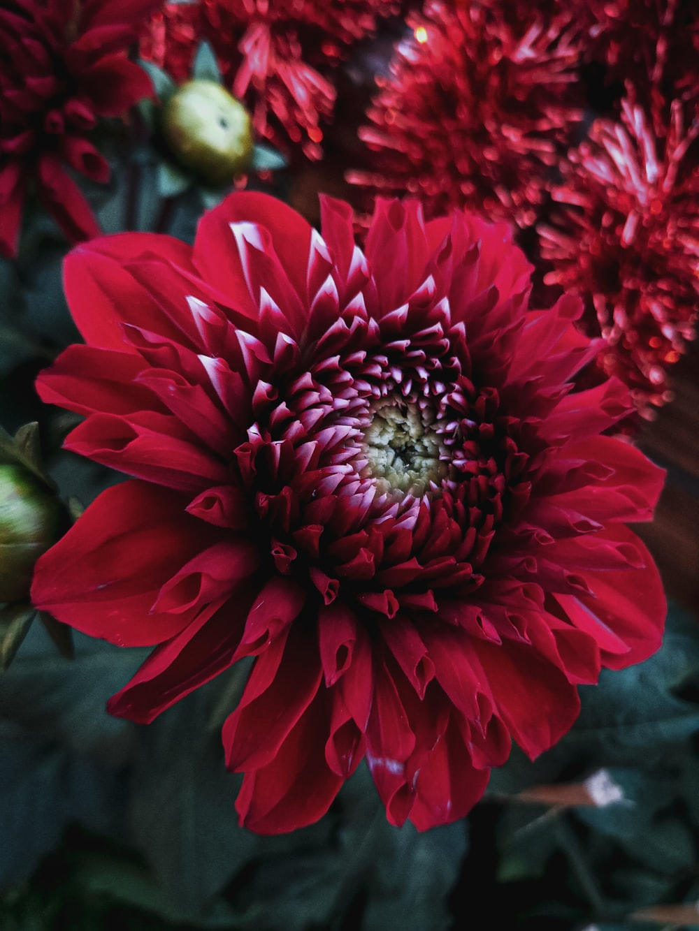 red dahlia in bloom during daytime