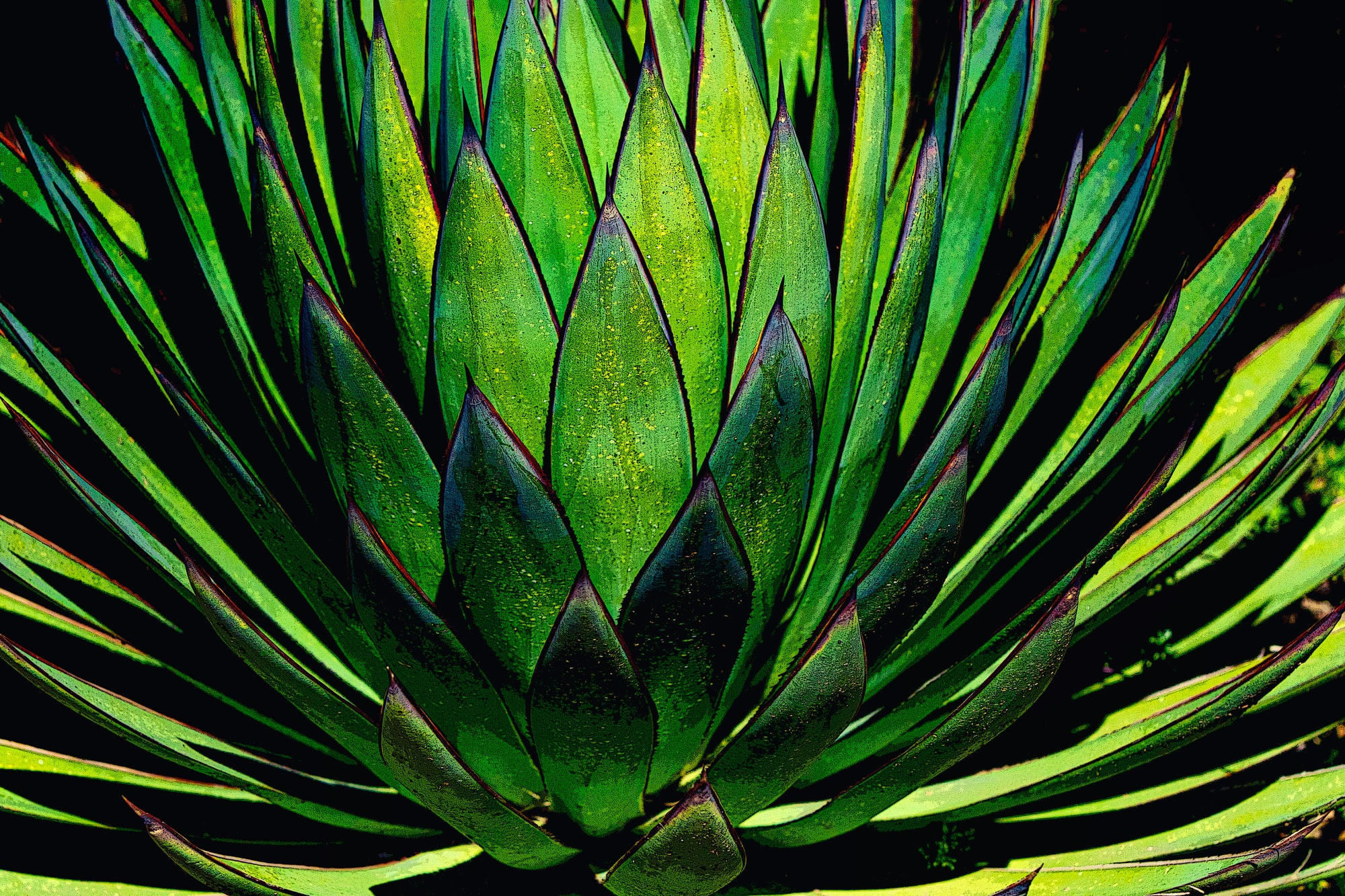 Red tipped Agave nectar