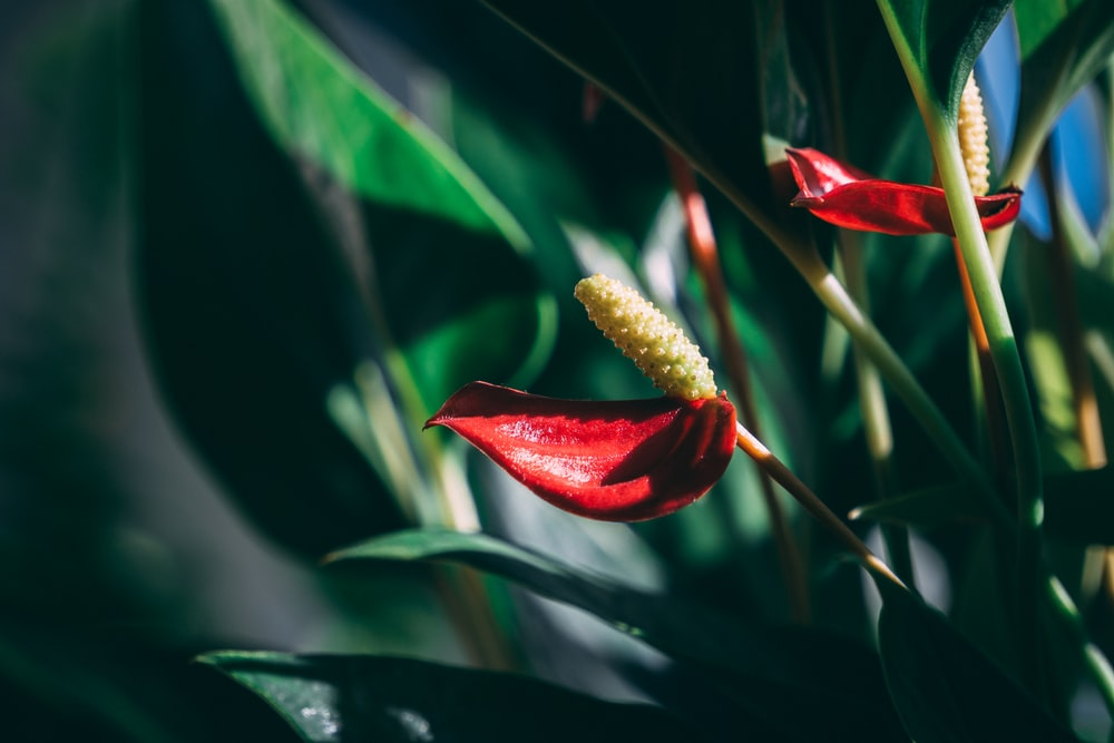 red flower bud in close up photography