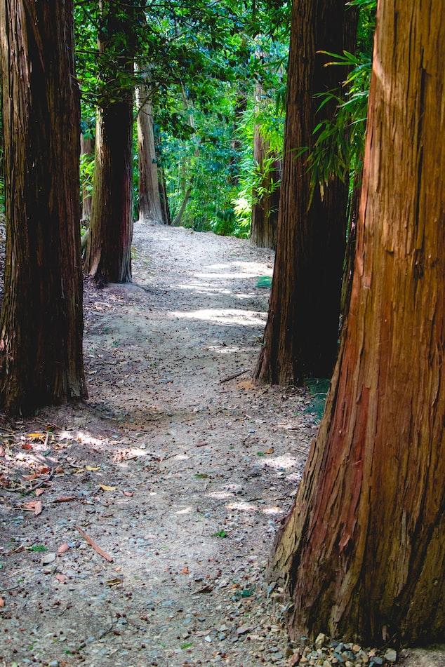 Redwoods in Arcata
