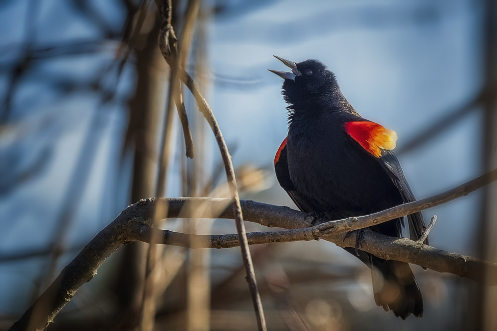 black and red bird on brown tree branch