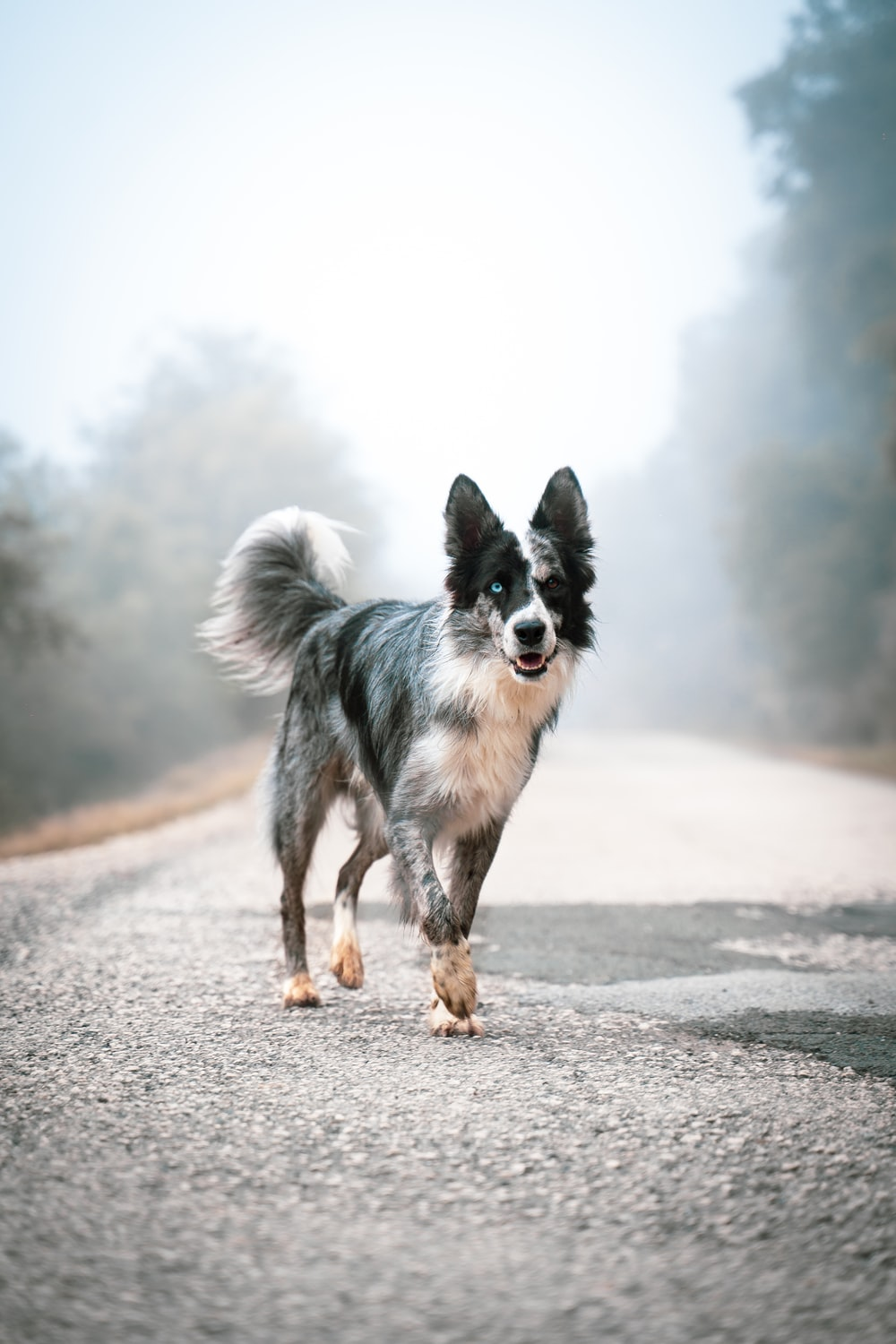 black and white border collie running on the road during daytime