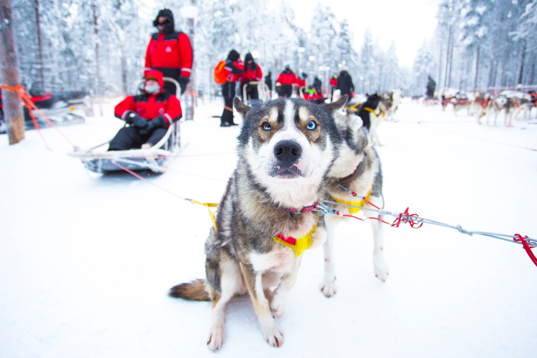 Husky dogs waiting for the sleigh ride