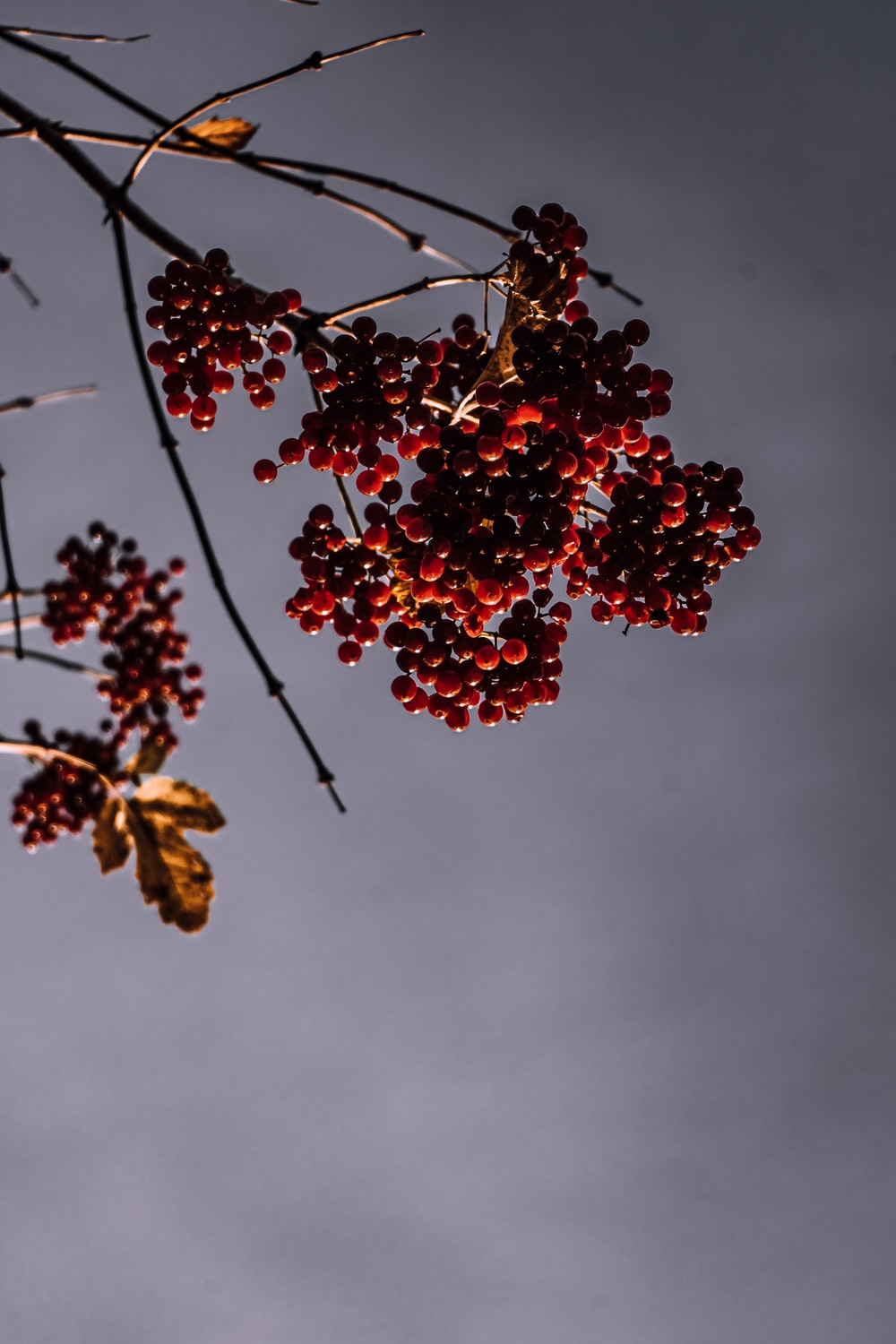 brown round fruits on tree