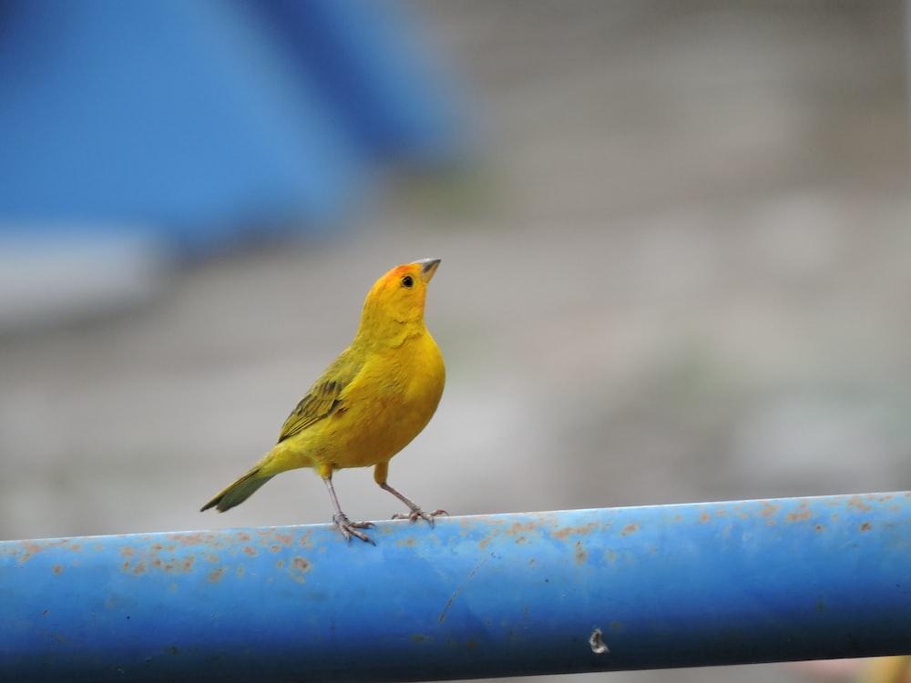yellow bird on blue metal fence