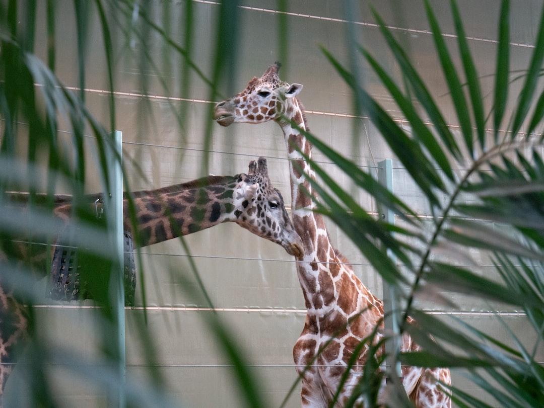 Giraffes through the trees.