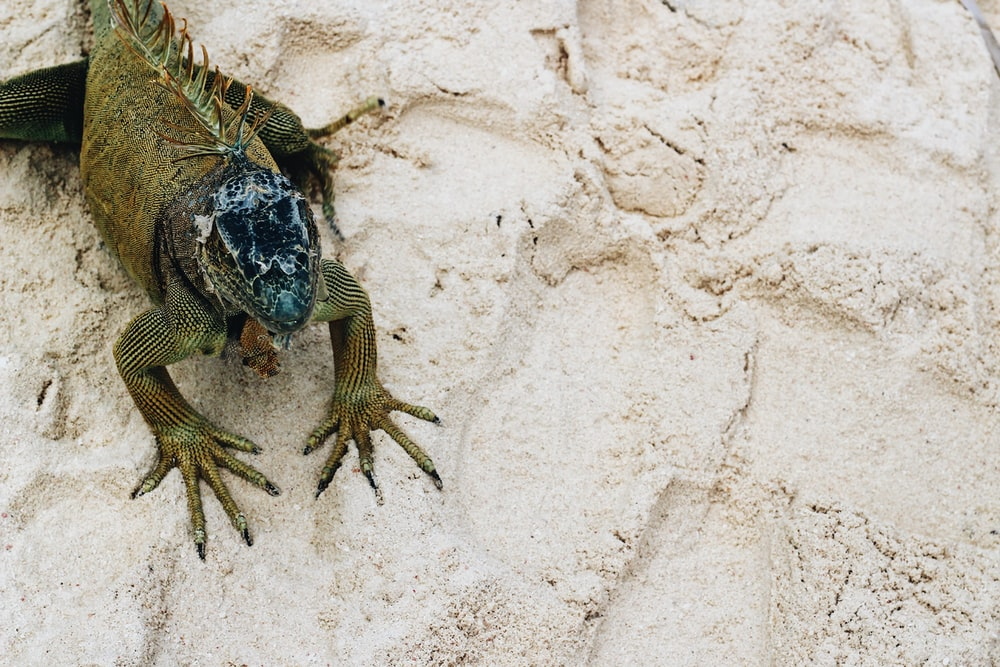 green and black lizard on white sand