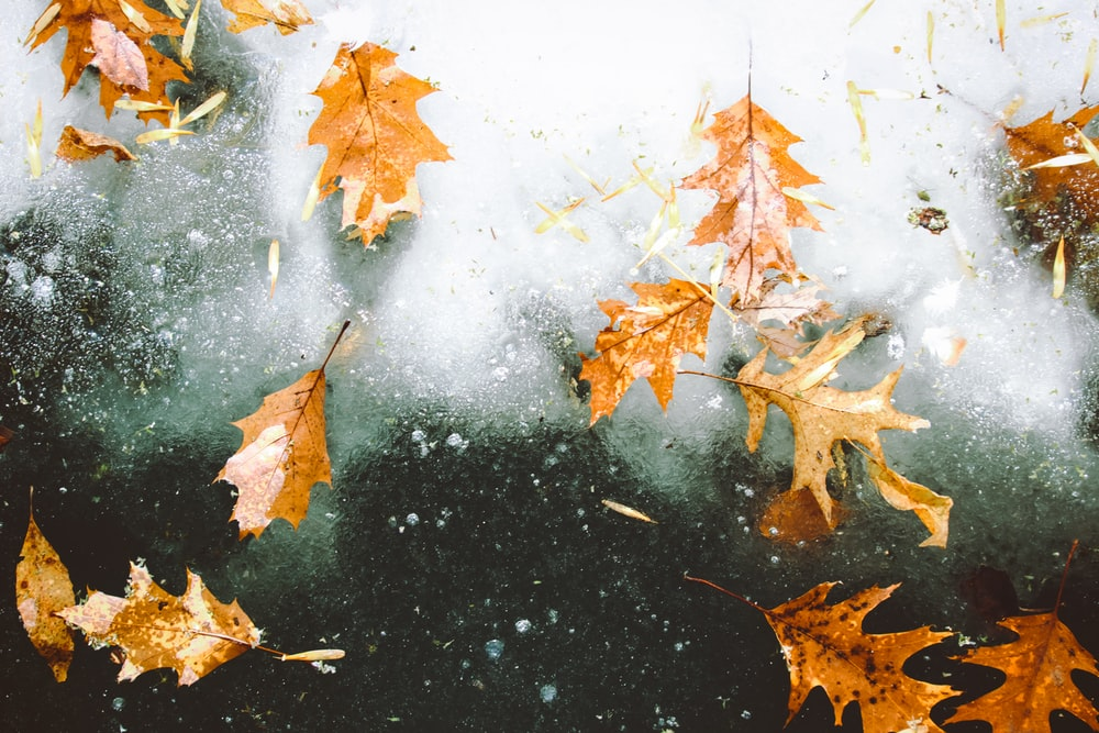 brown maple leaves on glass