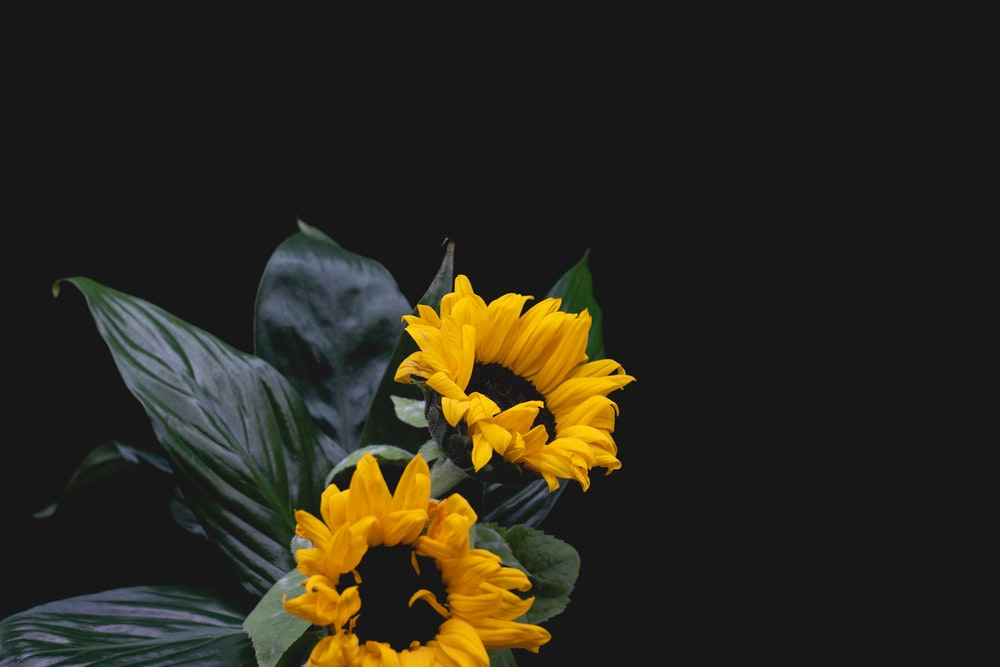 yellow and black flower in black background