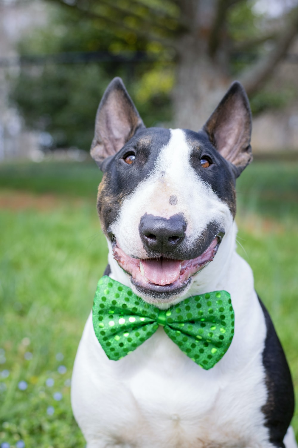 white and black short coated dog with red bowtie on green grass field during daytime