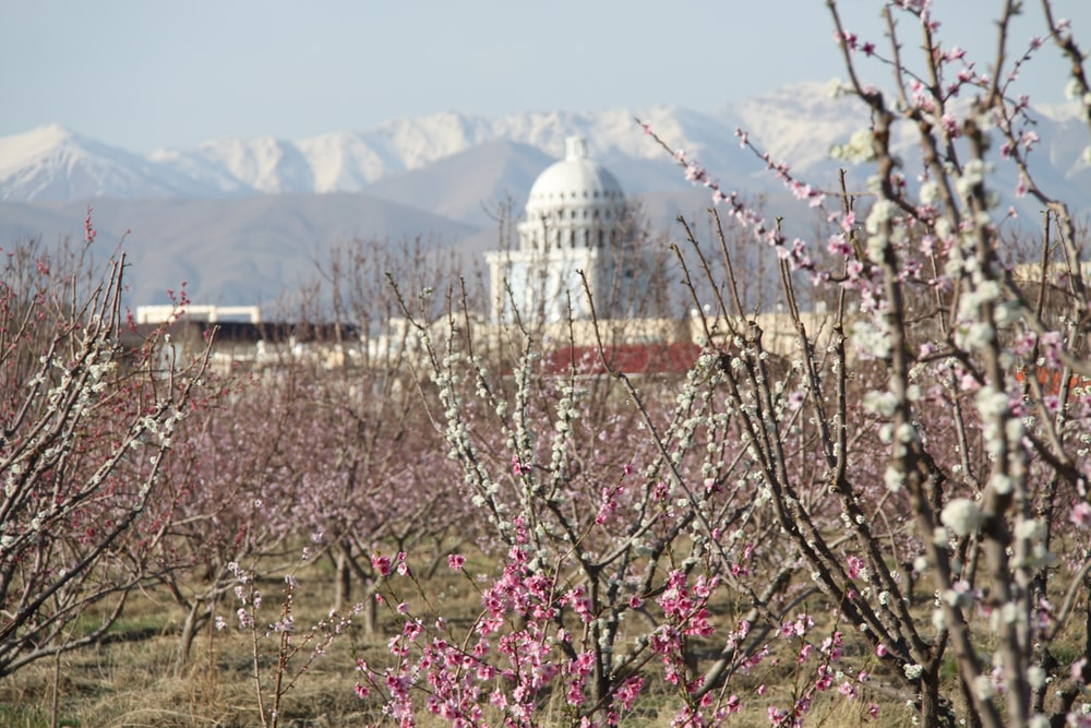 pink flowers near white dome building during daytime