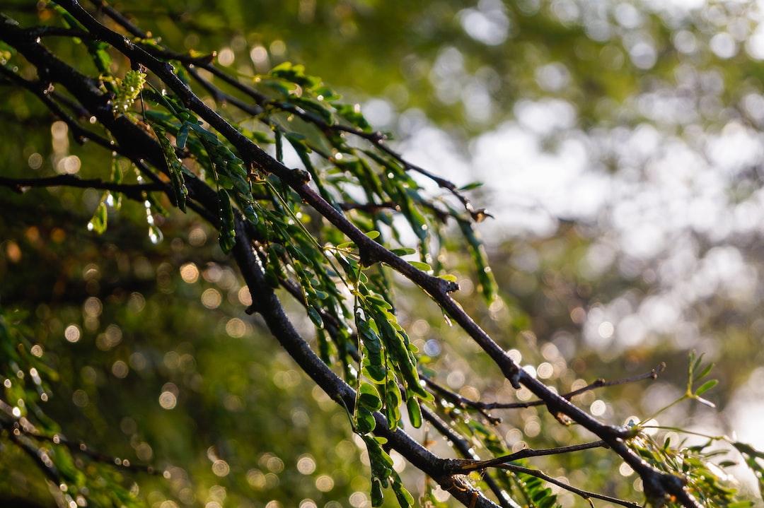 Watery Leaves