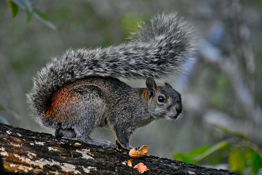 gray squirrel eating nut on tree branch