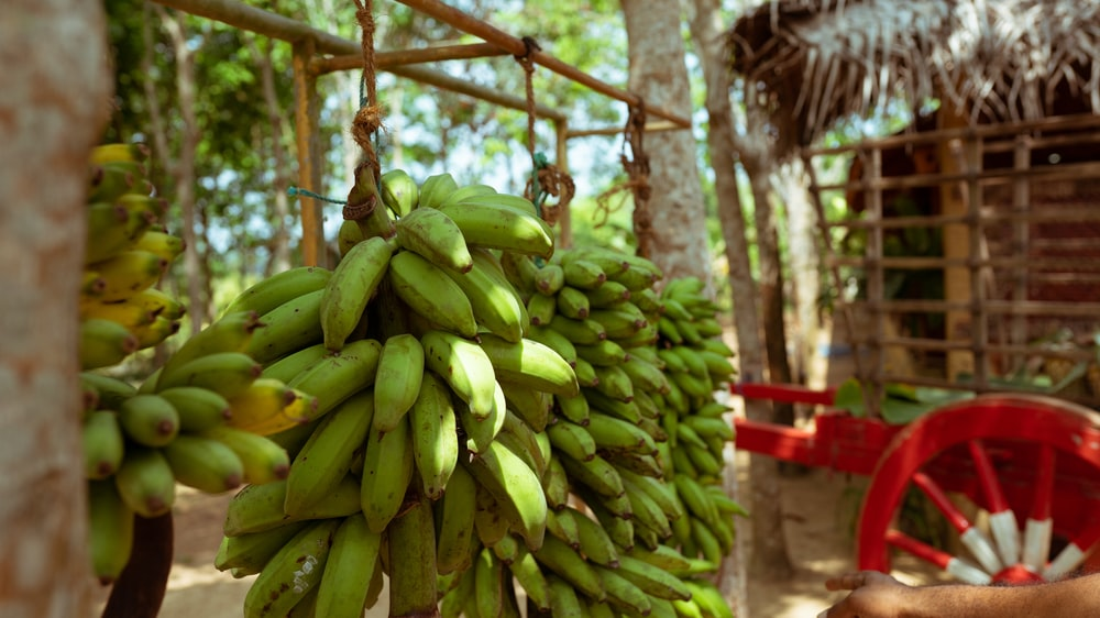 green banana fruit on tree
