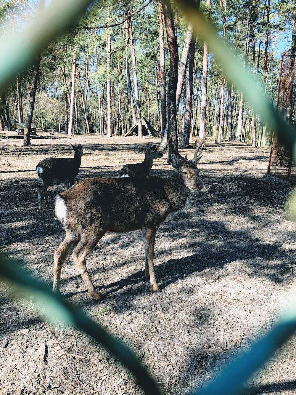 brown and black deer standing on brown soil during daytime
