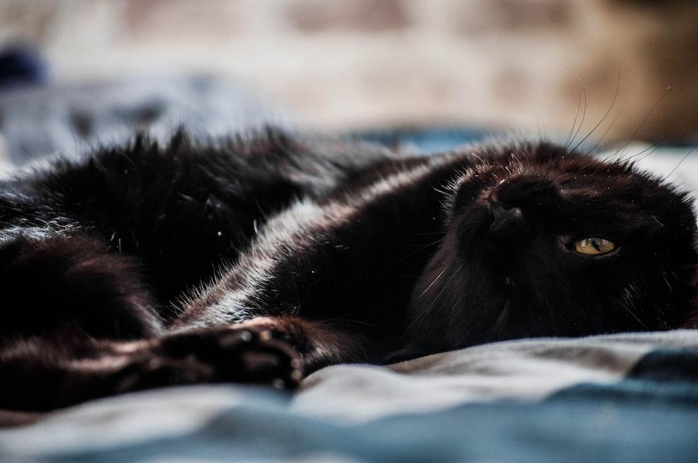 black short coated dog lying on blue textile