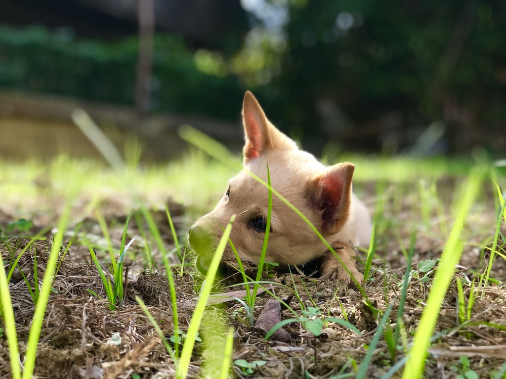 white chihuahua puppy on green grass during daytime