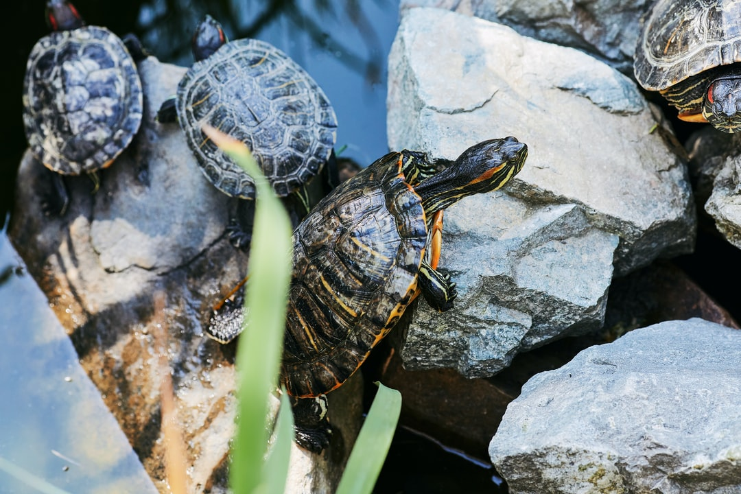 Turtles with salad and yellow stripes romping in the pond. Pets in the botanical garden.