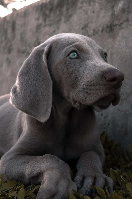 gray short coated dog lying on gray concrete floor
