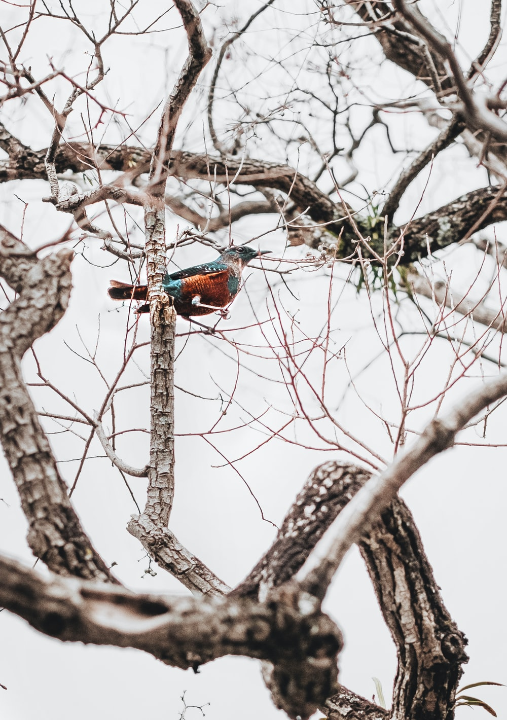 blue and red bird on brown tree branch