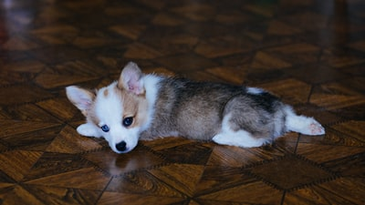 white and brown puppy lying on brown wooden floor